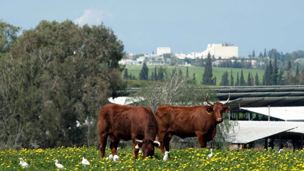 cows on a kibbutz in Israel